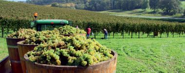 Le coltivazioni di pregiate uve sui Colli Euganei.